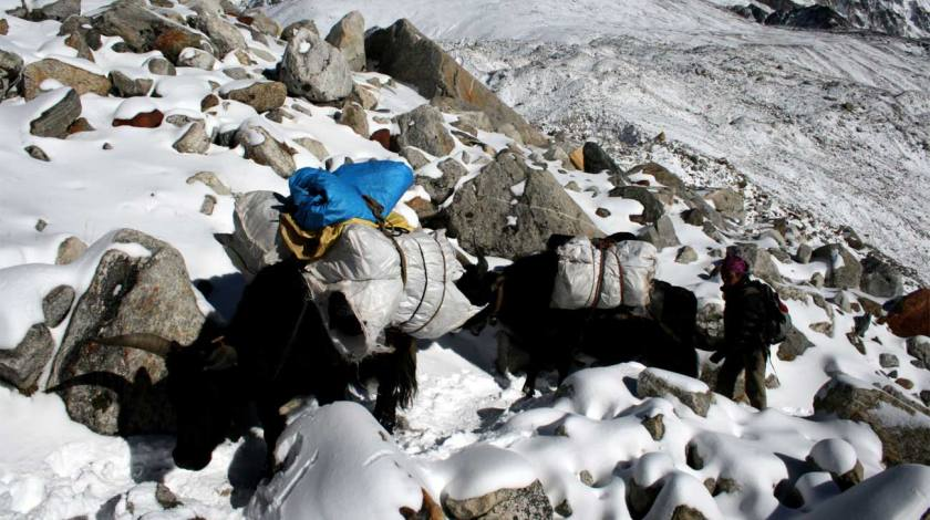Yaks on the Everest Trails