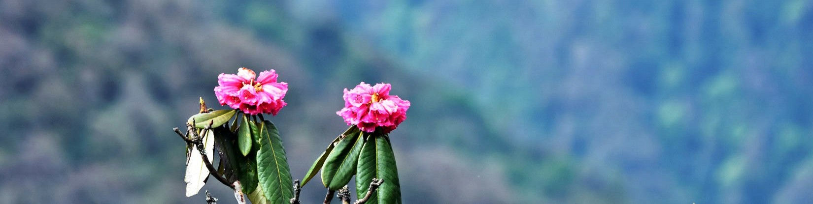 Colorful rhododendron