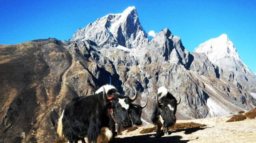 Yaks on the trails to Lobuche (Mt Lobuche on background)