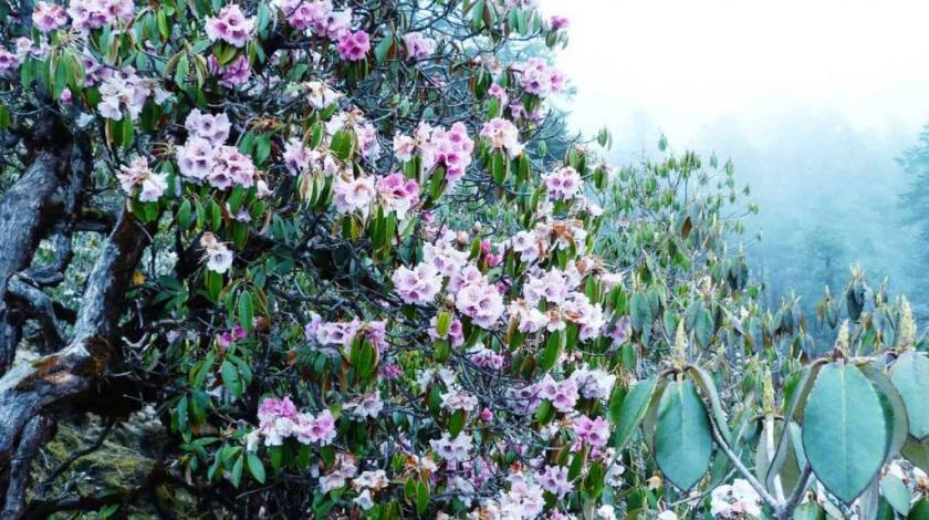 Colorful rhododendron throughout the journey to Pikey