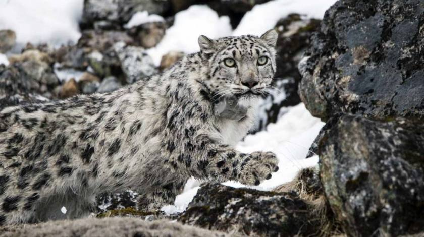 Captured Snow Leopard in high elevation of Kanchenjunga