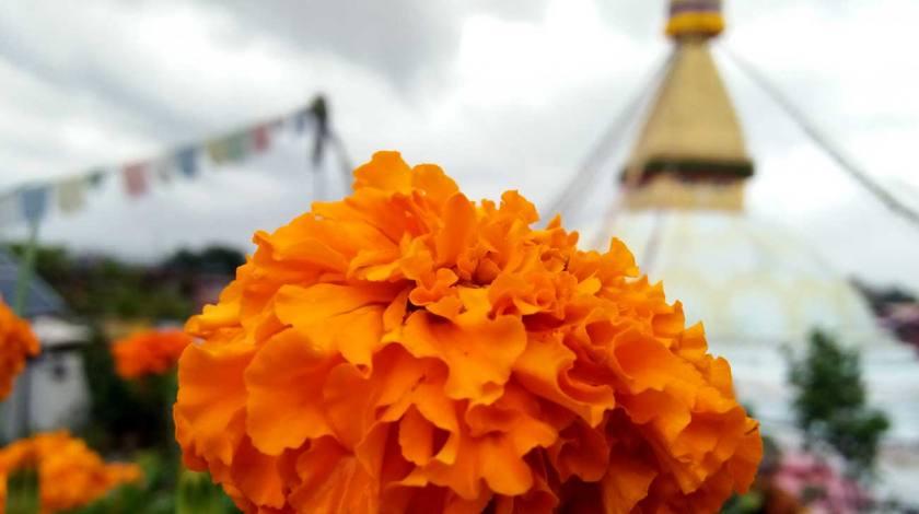 Marigold flower with Buddhist Shrine Boudanath Stupa on background