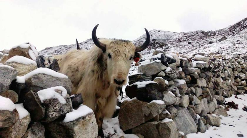 Yaks on the trails to Everest Base Camp