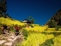 Rice Farming in Manaslu