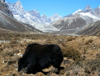 Yaks in Everest
