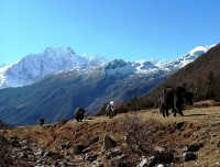 Yaks on the Manaslu Trekking