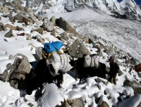 Yaks in the Everest Trek