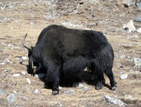 Yaks on the trails